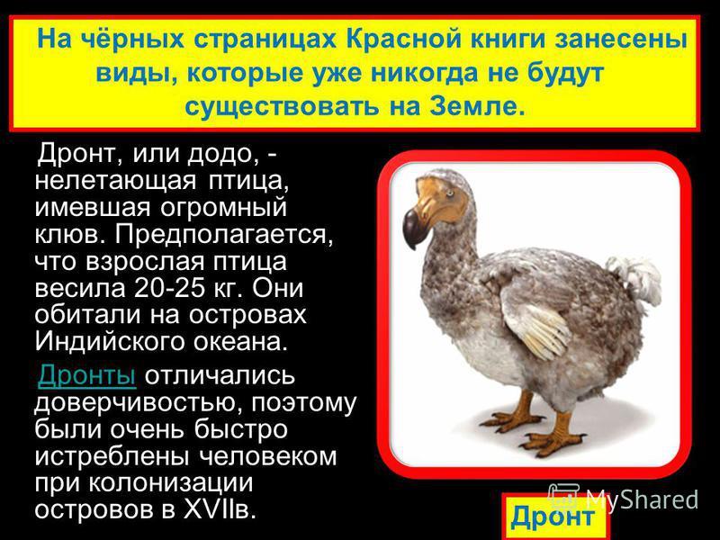 Дронт, или додо, - нелетающая птица, имевшая огромный клюв. Предполагается, что взрослая птица весила 20-25 кг. Они обитали на островах Индийского океана. Дронты отличались доверчивостью, поэтому были очень быстро истреблены человеком при колонизации