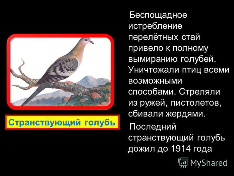 Беспощадное истребление перелётных стай привело к полному вымиранию голубей. Уничтожали птиц всеми возможными способами. Стреляли из ружей, пистолетов, сбивали жердями. Последний странствующий голубь дожил до 1914 года Странствующий голубь