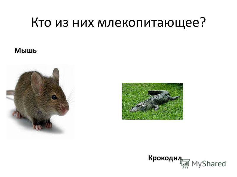 Кто из них млекопитающее? Мышь Крокодил