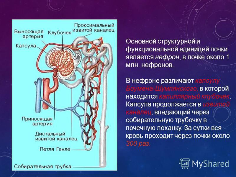 Основной структурной и функциональной единицей почки является нефрон, в почке около 1 млн. нефронов. В нефроне различают капсулу Боумена-Шумлянского, в которой находится капиллярный клубочек. Капсула продолжается в извитой каналец, впадающий через со