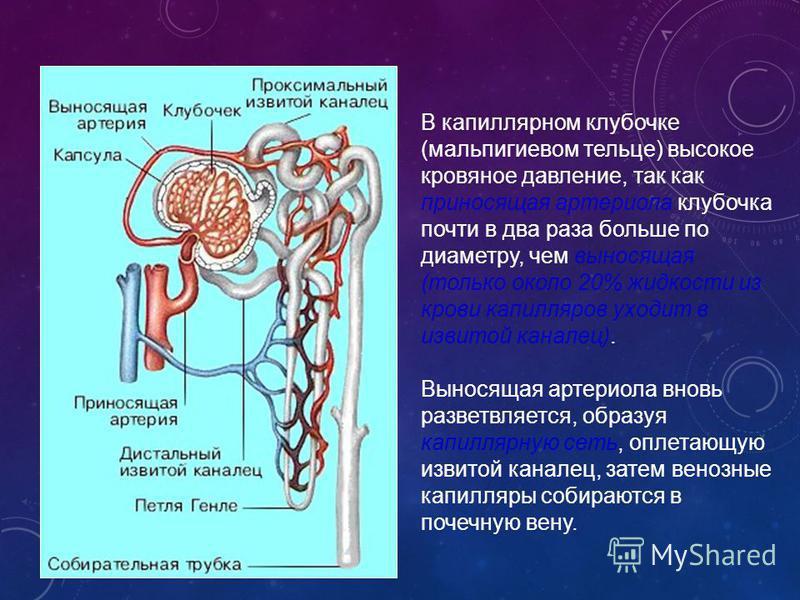 В капиллярном клубочке (мальпигиевом тельце) высокое кровяное давление, так как приносящая артериола клубочка почти в два раза больше по диаметру, чем выносящая (только около 20% жидкости из крови капилляров уходит в извитой каналец). Выносящая артер