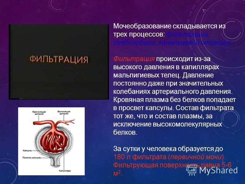 Мочеобразование складывается из трех процессов: фильтрации, реабсорбции, канальцевой секреции. Фильтрация происходит из-за высокого давления в капиллярах мальпигиевых телец. Давление постоянно даже при значительных колебаниях артериального давления.