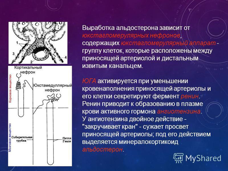 Выработка альдостерона зависит от юкстагломерулярных нефронов, содержащих юкстагломерулярный аппарат - группу клеток, которые расположены между приносящей артериолой и дистальным извитым канальцем. ЮГА активируется при уменьшении кровенаполнения прин