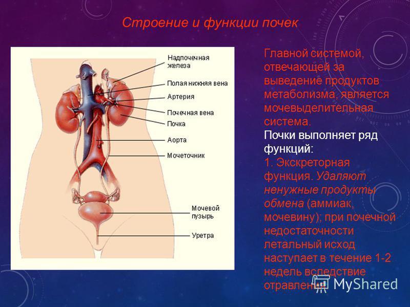 Строение и функции почек Главной системой, отвечающей за выведение продуктов метаболизма, является мочевыделительная система. Почки выполняет ряд функций: 1. Экскреторная функция. Удаляют ненужные продукты обмена (аммиак, мочевину); при почечной недо