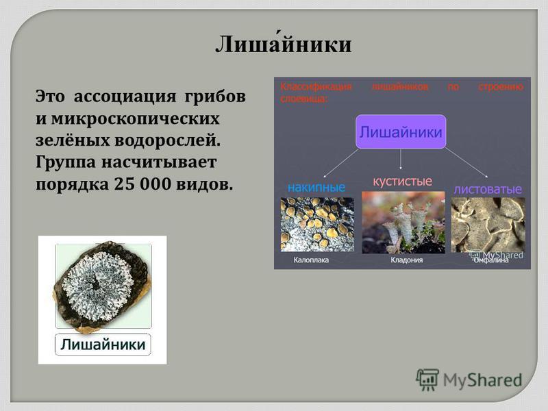 Лишайники Это ассоциация грибов и микроскопических зелёных водорослей. Группа насчитывает порядка 25 000 видов.