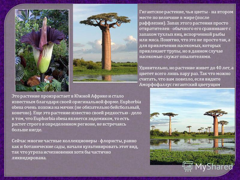Гигантское растение, чьи цветы - на втором месте по величине в мире ( после раффлезии ). Запах этого растения просто отвратителен - обычного его сравнивают с запахом тухлых яиц, испорченной рыбы или мяса. Понятно, что это не просто так, а для привлеч