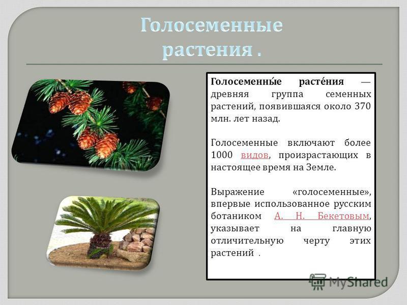 Голосеменны́е расте́ния древняя группа семенных растений, появившаяся около 370 млн. лет назад. Голосеменные включают более 1000 видов, произрастающих в настоящее время на Земле. видов Выражение « голосеменные », впервые использованное русским ботани