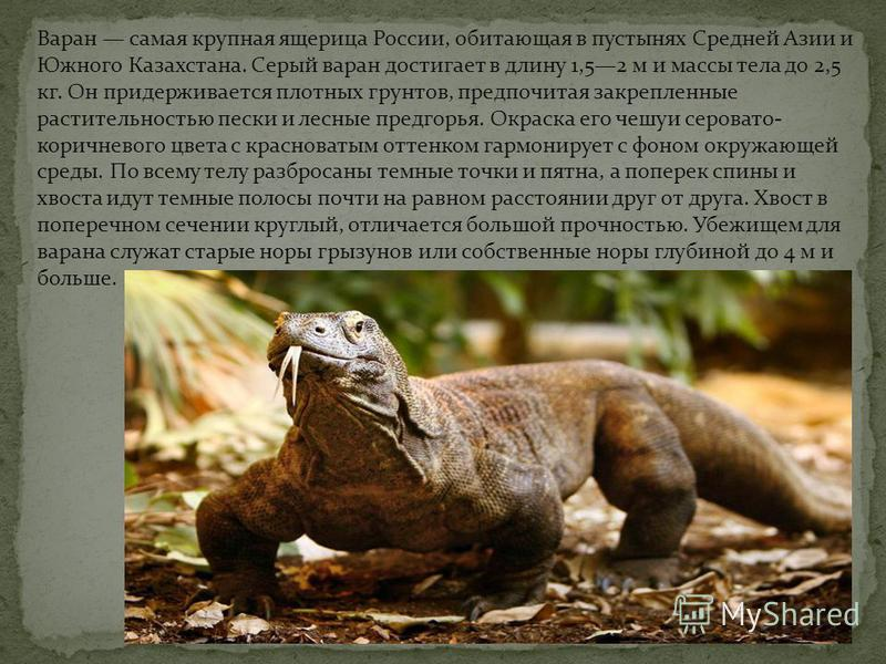 Варан самая крупная ящерица России, обитающая в пустынях Средней Азии и Южного Казахстана. Серый варан достигает в длину 1,52 м и массы тела до 2,5 кг. Он придерживается плотных грунтов, предпочитая закрепленные растительностью пески и лесные предгор