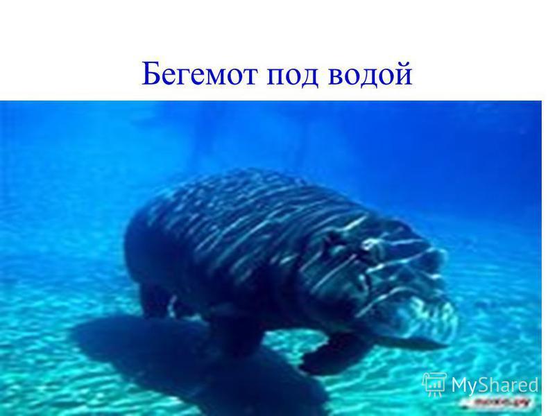 Бегемот под водой