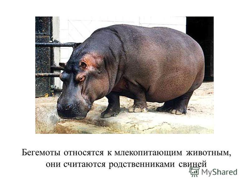 Бегемоты относятся к млекопитающим животным, они считаются родственниками свиней