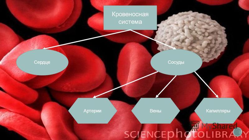 Кровеносная система Сердце Сосуды Артерии Вены Капилляры