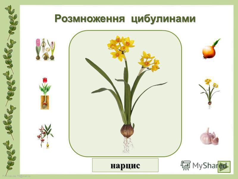 FokinaLida.75@mail.ru Розмноження цибулинами нарцис