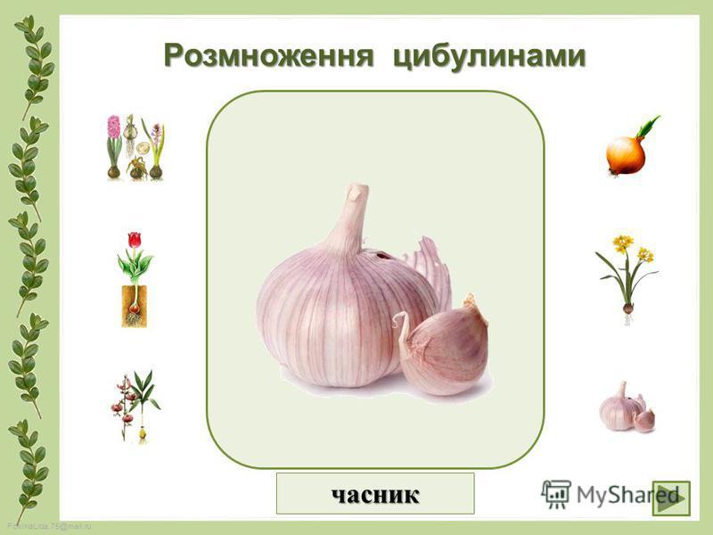 FokinaLida.75@mail.ru Розмноження цибулинами часник
