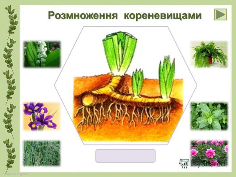 FokinaLida.75@mail.ru Розмноження кореневищами