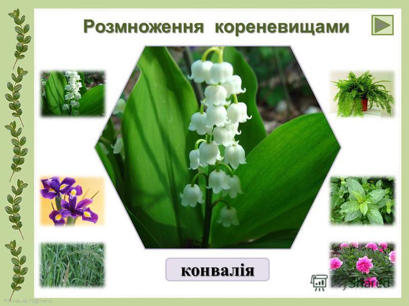 FokinaLida.75@mail.ru Розмноження кореневищами конвалія