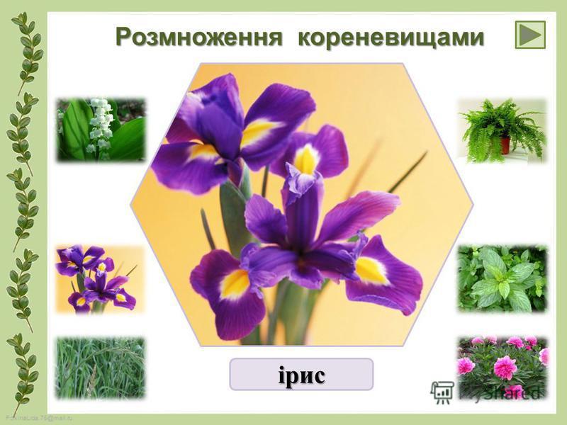 FokinaLida.75@mail.ru Розмноження кореневищами ірис