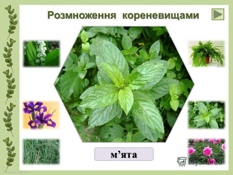 FokinaLida.75@mail.ru Розмноження кореневищами мята
