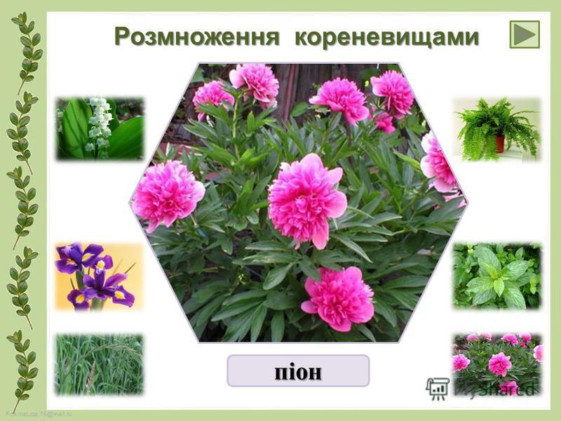 FokinaLida.75@mail.ru Розмноження кореневищами піон