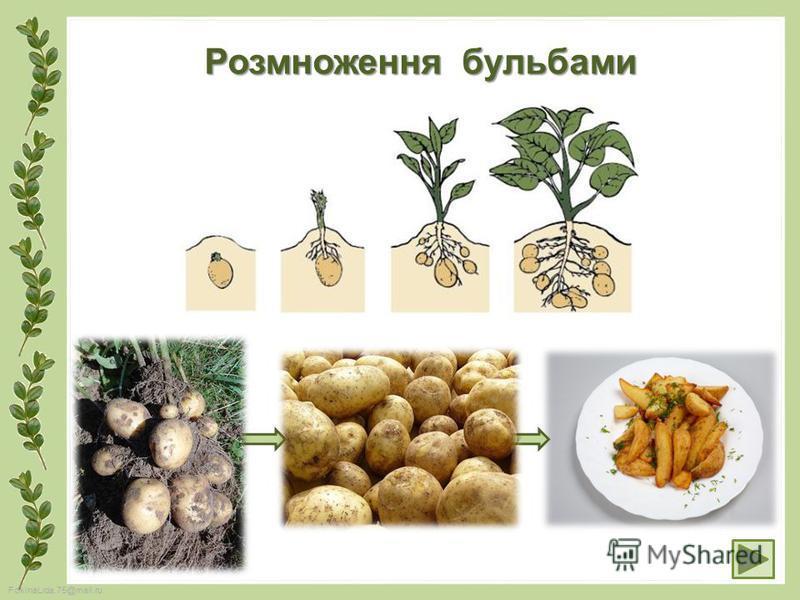FokinaLida.75@mail.ru Розмноження бульбами