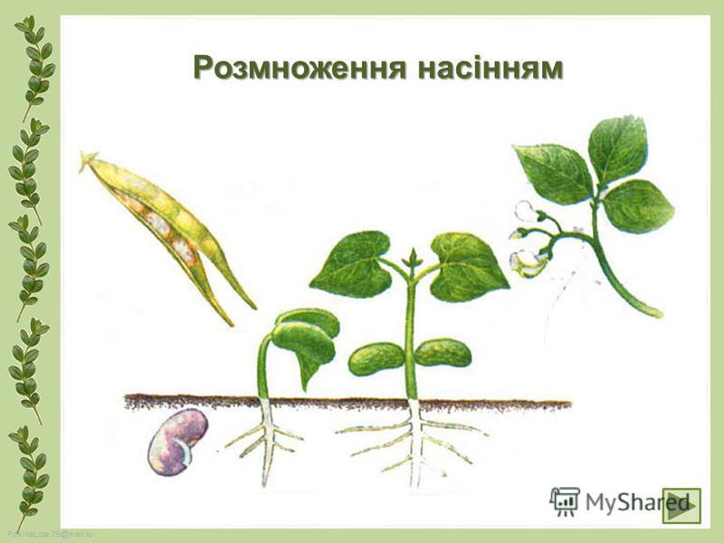 FokinaLida.75@mail.ru Розмноження насінням