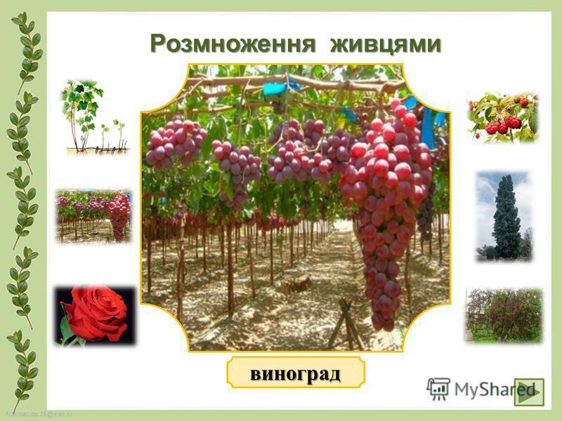 FokinaLida.75@mail.ru Розмноження живцями виноград