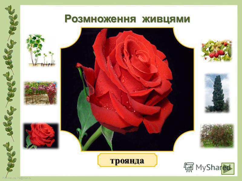 FokinaLida.75@mail.ru Розмноження живцями троянда