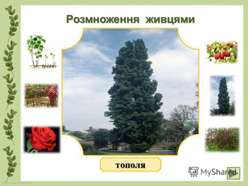 FokinaLida.75@mail.ru Розмноження живцями тополя