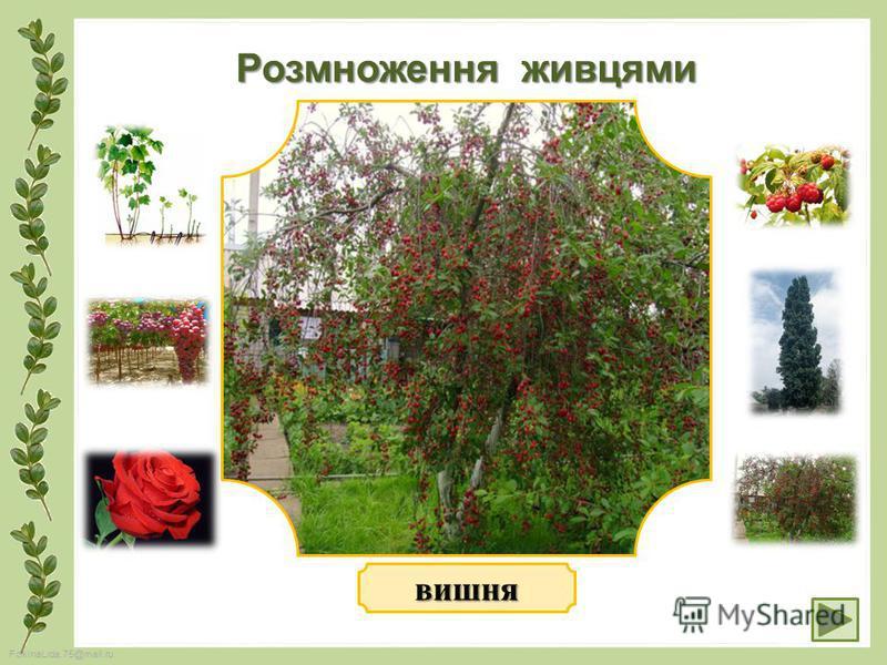 FokinaLida.75@mail.ru Розмноження живцями вишня