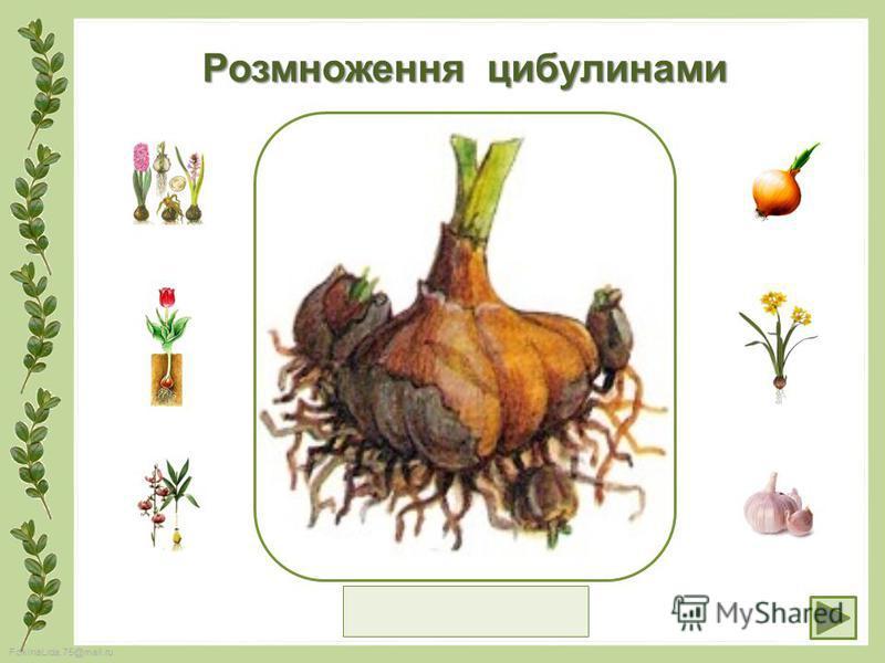 FokinaLida.75@mail.ru Розмноження цибулинами