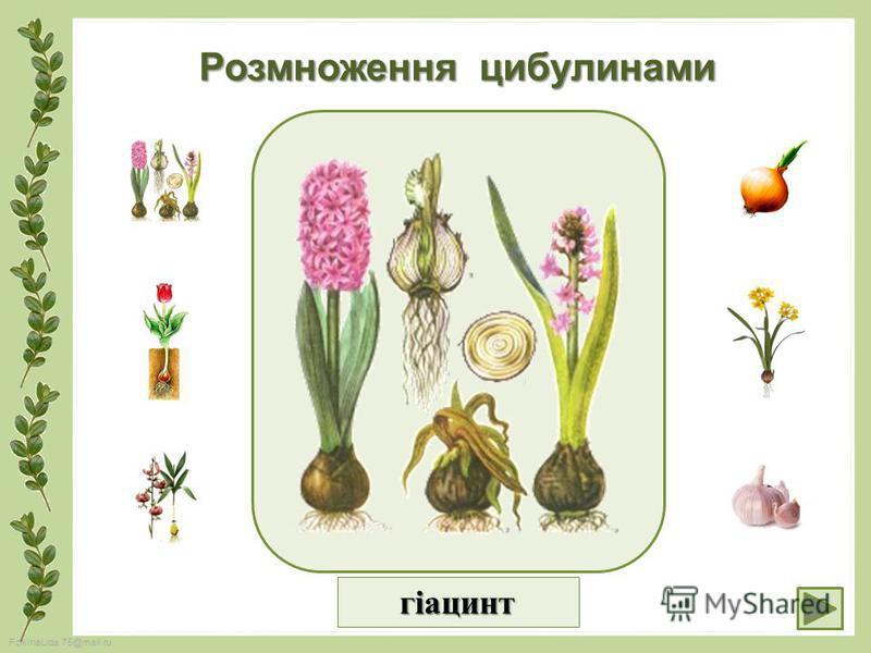 FokinaLida.75@mail.ru Розмноження цибулинами гіацинт