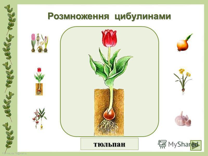 FokinaLida.75@mail.ru Розмноження цибулинами тюльпан