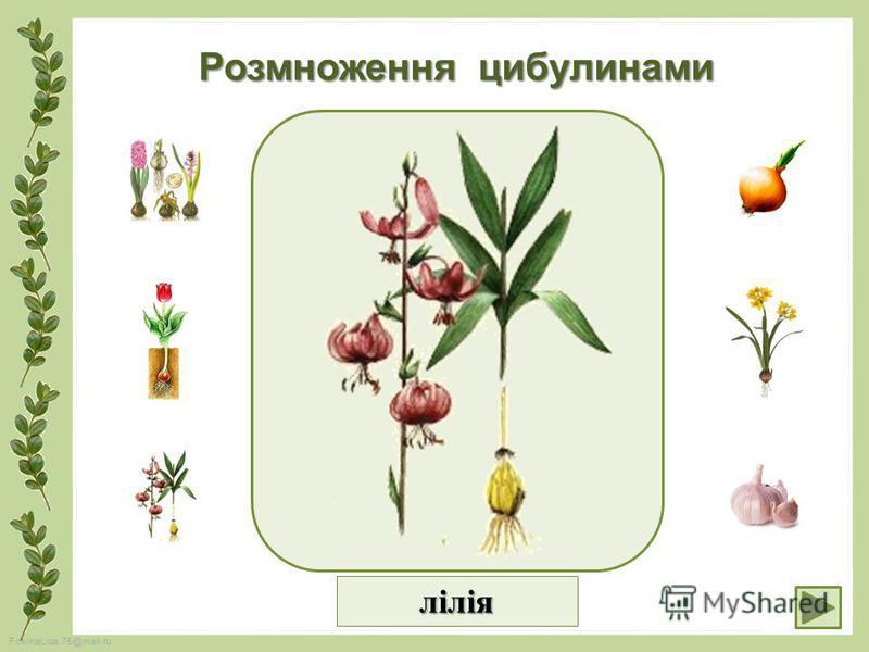 FokinaLida.75@mail.ru Розмноження цибулинами лілія