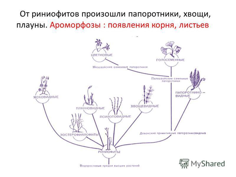 От риниофитов произошли папоротники, хвощи, плауны. Ароморфозы : появления корня, листьев