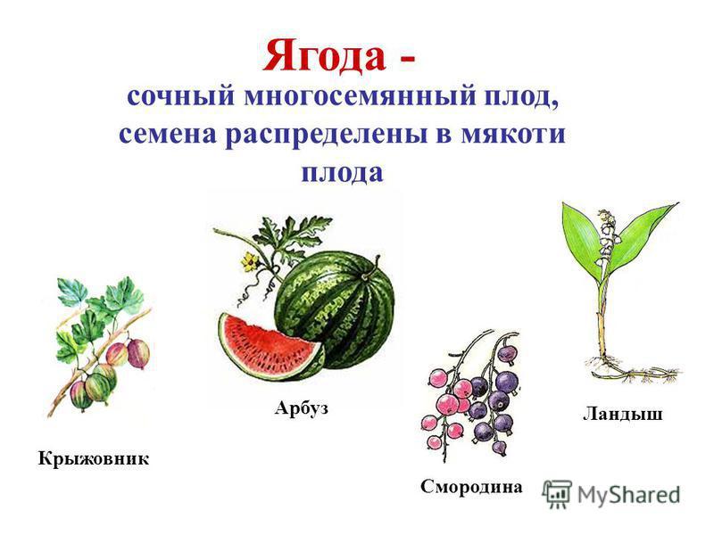 Арбуз Крыжовник Ягода - сочный многосемянный плод, семена распределены в мякоти плода Смородина Ландыш