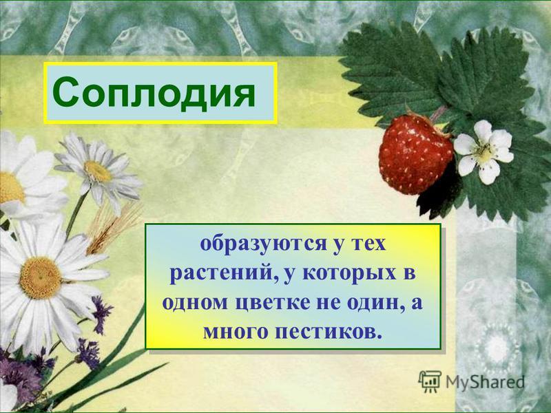 Соплодия образуются у тех растений, у которых в одном цветке не один, а много пестиков. образуются у тех растений, у которых в одном цветке не один, а много пестиков.