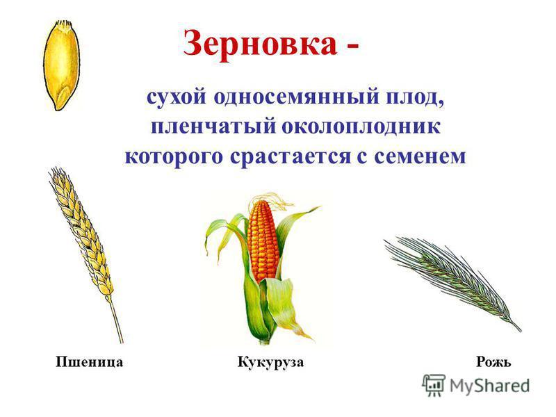 Зерновка - сухой односемянный плод, пленчатый околоплодник которого срастается с семенем Пшеница Кукуруза Рожь