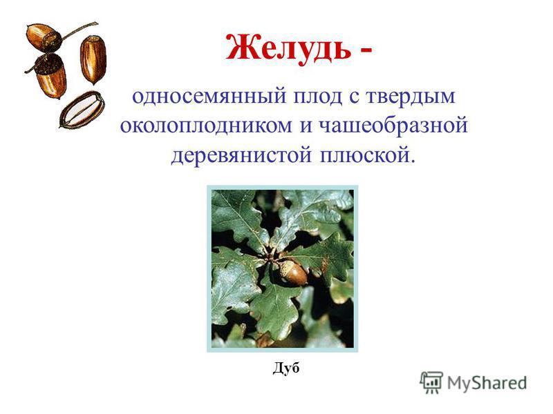 Желудь - Дуб односемянный плод с твердым околоплодником и чашеобразной деревянистой плюской.