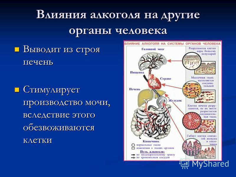 Влияния алкоголя на другие органы человека Выводит из строя печень Выводит из строя печень Стимулирует производство мочи, вследствие этого обезвоживаются клетки Стимулирует производство мочи, вследствие этого обезвоживаются клетки