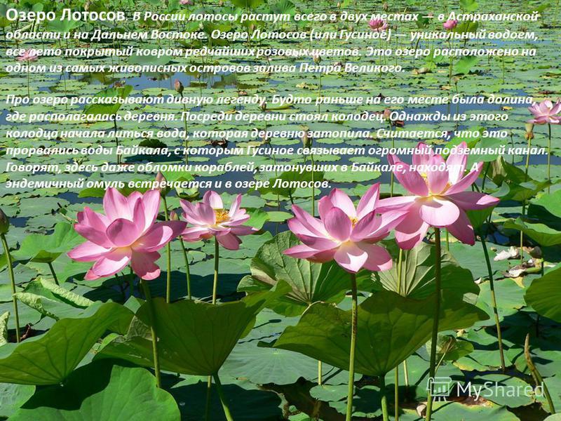 Озеро Лотосов. В России лотосы растут всего в двух местах в Астраханской области и на Дальнем Востоке. Озеро Лотосов (или Гусиное) уникальный водоем, все лето покрытый ковром редчайших розовых цветов. Это озеро расположено на одном из самых живописны