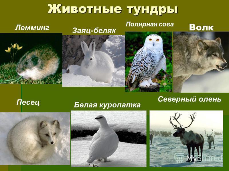 Животные тундры Лемминг Заяц-беляк Полярная сова Песец Белая куропатка Северный олень Волк