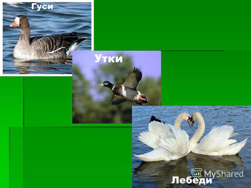 Гуси Утки Лебеди
