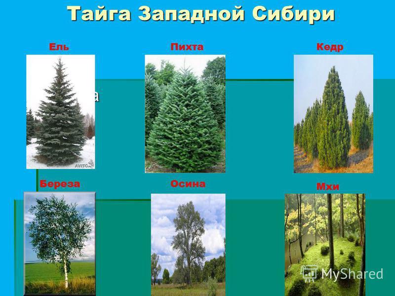Тайга Западной Сибири Береза Ель ПихтаКедр Береза Осина Мхи