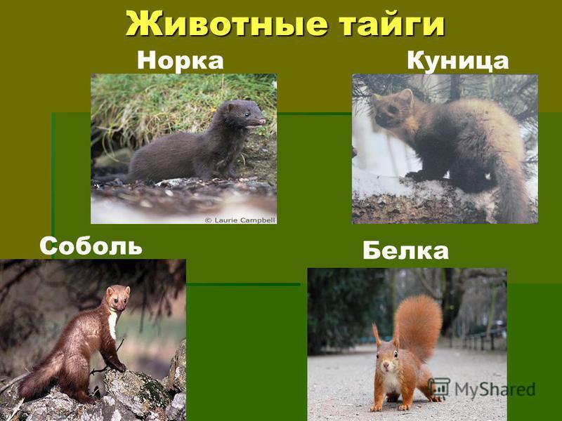 Животные тайги Норка Куница Соболь Белка
