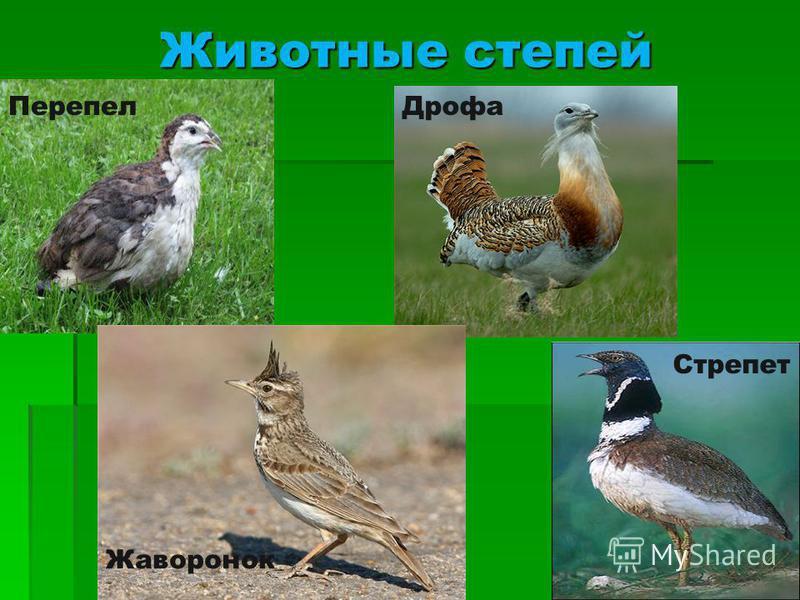 Животные степей Перепел Дрофа Стрепет Жаворонок