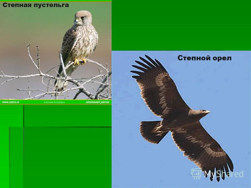 Степная пустельга Степной орел