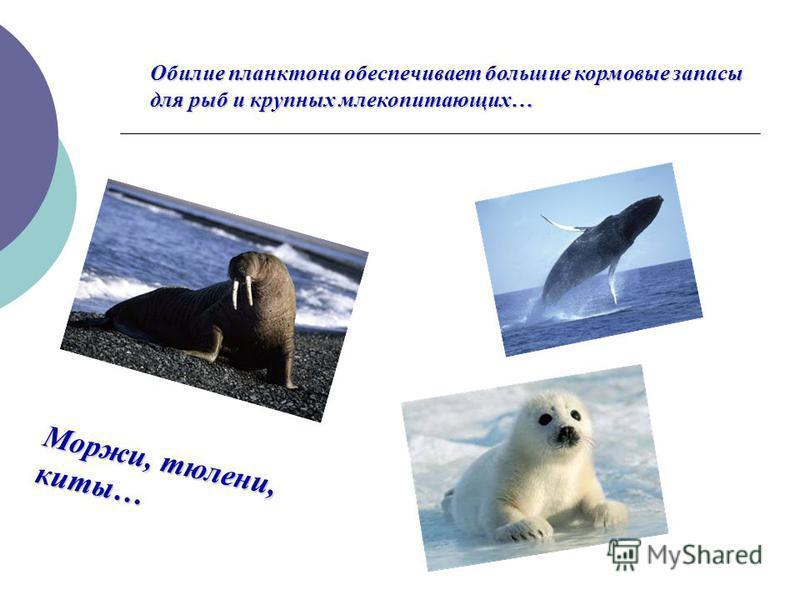 Обилие планктона обеспечивает большие кормовые запасы для рыб и крупных млекопитающих… Моржи, тюлени, киты…