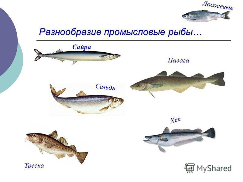 Разнообразие промысловые рыбы… Лососевые Сельдь Треска Навага Хек Сайра