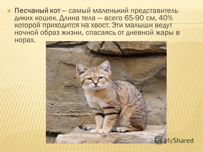 Песчаный кот самый маленький представитель диких кошек. Длина тела всего 65-90 см, 40% которой приходится на хвост. Эти малыши ведут ночной образ жизни, спасаясь от дневной жары в норах.