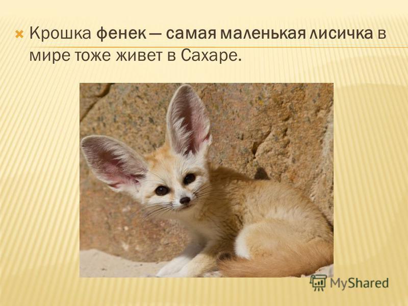 Крошка феникс самая маленькая лисичка в мире тоже живет в Сахаре.