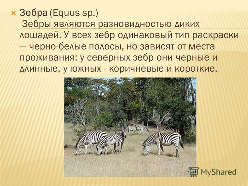 Зебра (Equus sp.) Зебры являются разновидностью диких лошадей. У всех зебр одинаковый тип раскраски черно-белые полосы, но зависят от места проживания: у северных зебр они черные и длинные, у южных - коричневые и короткие.